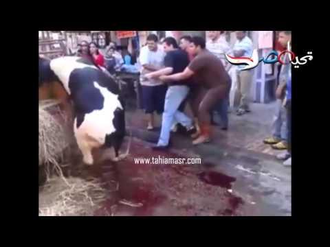 العجل في محافظة الاسكندرية