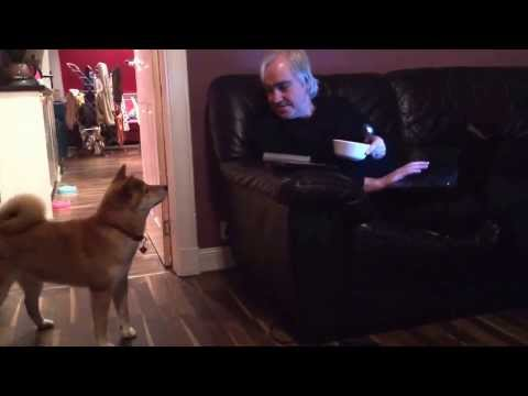 Shiba Inu Scared of a Bowl of Cereal