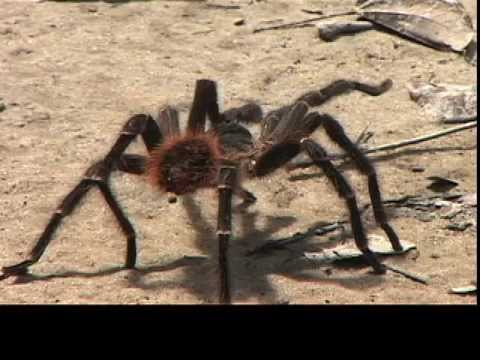 HUGE AMAZON SPIDER ATTACKS CAMERA