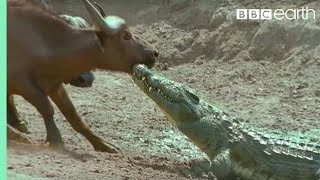 The Nile Crocodile - Wild Africa - BBC view on youtube.com tube online.