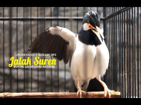 Jalak Suren Gacor Bintang Timur Yusuf Mabes Jakarta Juara Nasional