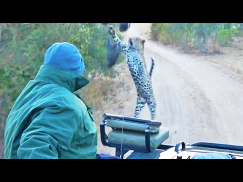 Surprise Leopard in Front of Safari Vehicle Caught on Camera
