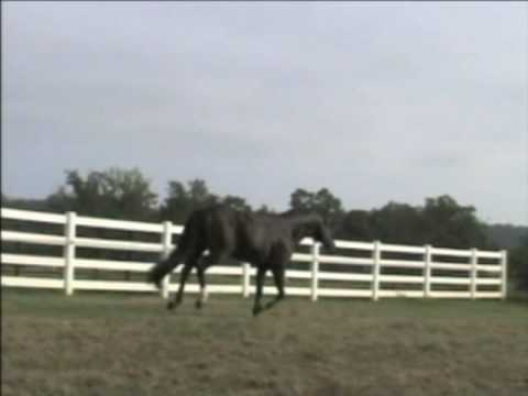 Potential Career - AQHA Stallion