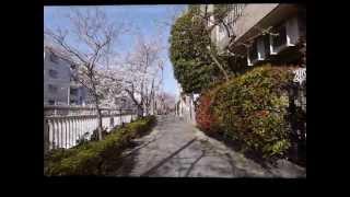 神田川の桜 2013年