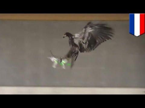 Holenderska policja tresuje orły do walki z dronami