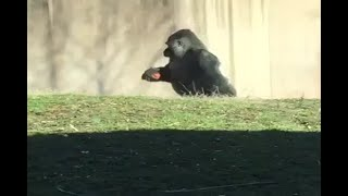 This gorilla walks on two legs to avoid dirty hands - ABPNEWSTV