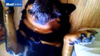 بالفيديو رد فعل مضحك لكلب يتظاهر بالموت للهروب من تناول الدواء