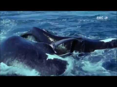l'accouplement chez les balaines  التزاوج عند الحيتان صور نادرة