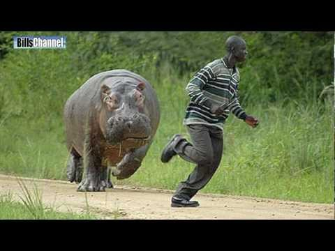MAN CHASED BY HIPPO