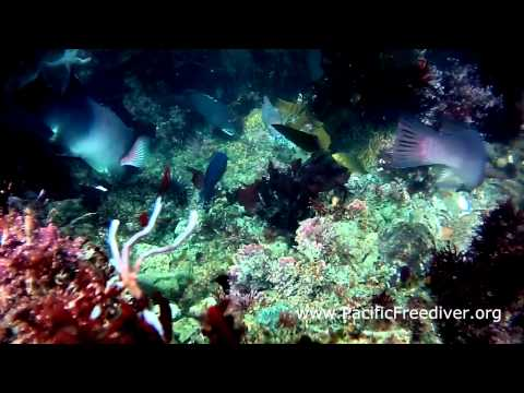 California Sheephead Eats Sea Urchin