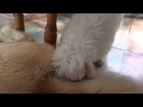 The Odd behaviors of Toby the Maltese