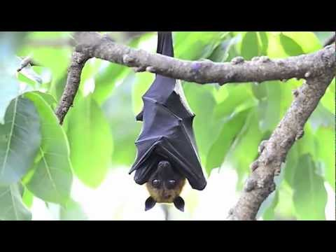 True Facts About The Fruit Bat