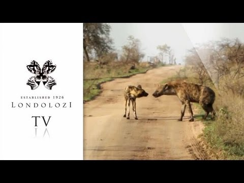 Wild Dog and Hyena Interaction - Londolozi TV
