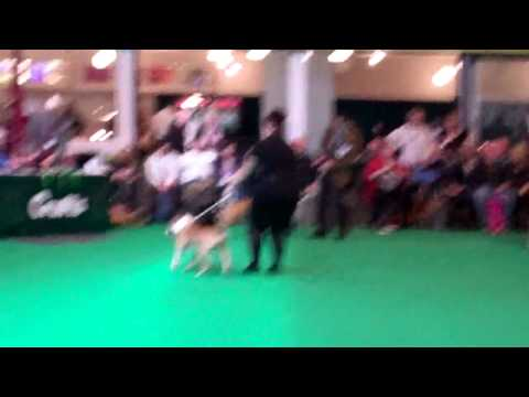 Bull Terrier Open Bitch Crufts 2014 Ch Bilboen X Rated