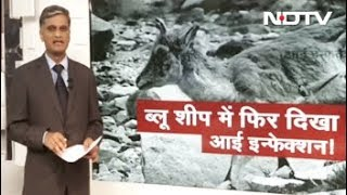 ब्लू शीप में फिर दिखा आई इन्फेक्शन! - NDTVINDIA