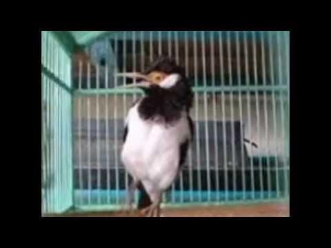 Ciri-Ciri Burung Jalak Suren Betina