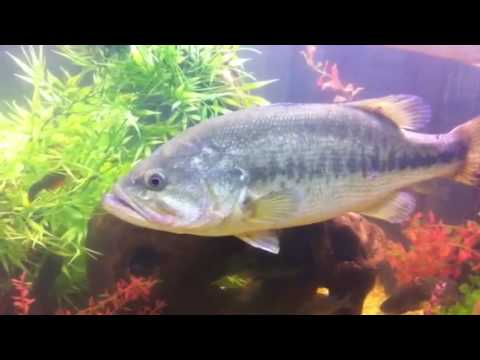 Huge largemouth bass in a 300 gallon aquarium