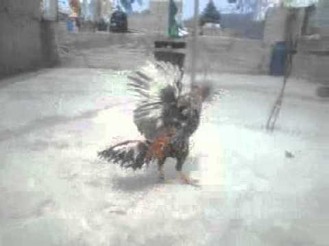 gallo de corta.mp4