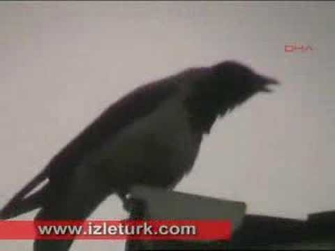 Corvine bird Calls upon Allah name 7 timez then turns his head to the right and left when he is done
