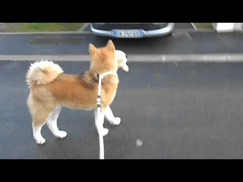Akita Inu 6 mois et 9 jours. Promenade avec nounou Ika