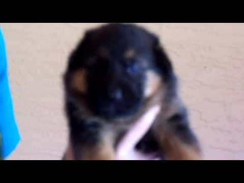 German Shepherd Puppies For Sale in Florida AKC/OFA/DM Neg By Parantage