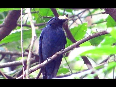 Large Niltava - Birdwatching Thailand