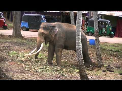 ELEPHANT at Aluthnuwara Dewalaya, Imbulpe
