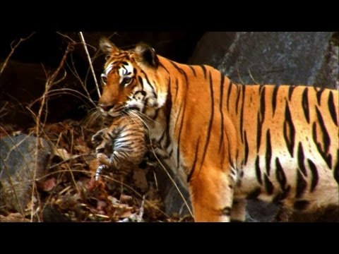 Tiger: Spy in the Jungle 2008 documentary movie, default video feature image, click play to watch stream online