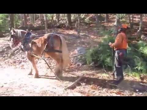 Belgian Draft Horse Pulling Logs
