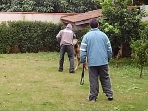 adestramento de Pastor Alemão - guarda e defesa - Tazzo Jr e Zeus