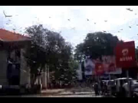 Must watch... Real Funny Pigeon Fights... Hundreds of Pigeons (Kabootar) Flying