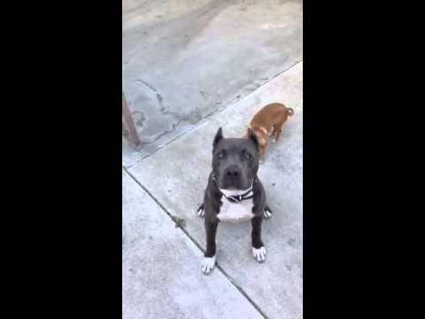 Pitbull puppy ear crop