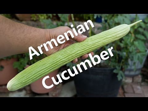 Growing Armenian Cucumbers In Containers
