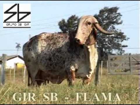 FLAMA ZS - PUREZA RACIAL EM GIR