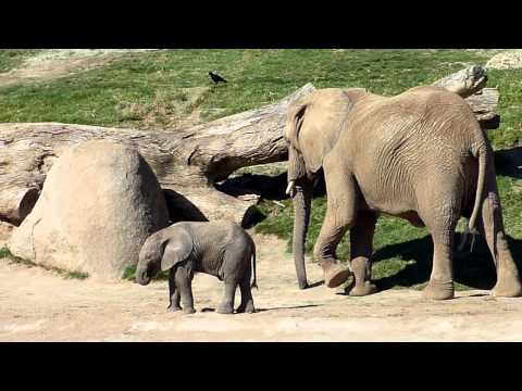 San Diego Zoo (Escondido) - Wild Life Park - Elephants