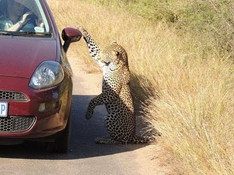 Leopard Likes His Reflection On Car - 18 May 2013 - Latest Sightings
