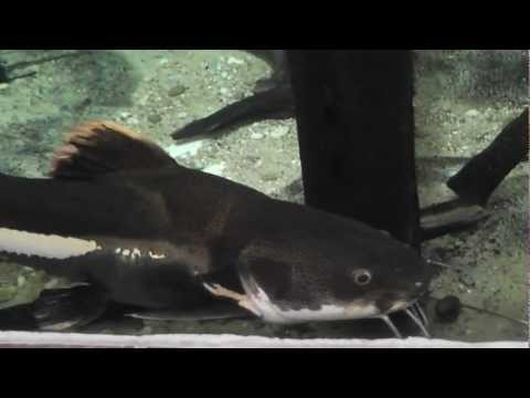catfish in a tank