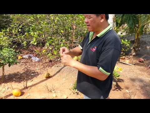 Phineapple farm  tour to parit sulong agro-tourism(4)