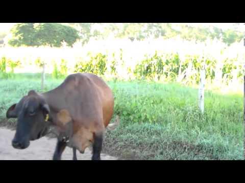 Fazenda Girolando - Melhor da Gado Leiteiro de Minas Gerais