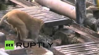 بالفيديو: صدمة كهربائية تحول قرداً إلى بطل