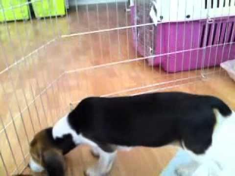 video beagles μπιγκλ Dogcenter