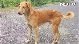 नोएडा में आवारा कुत्तों का आतंक, खौफ में जी रहे हैं लोग - NDTVINDIA