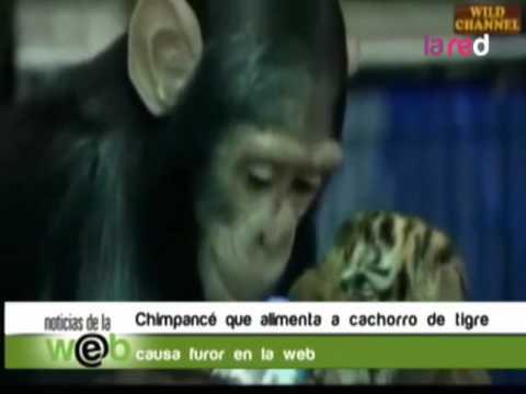 Chimpancé alimenta a tigre bebe con un biberón en Tailandia