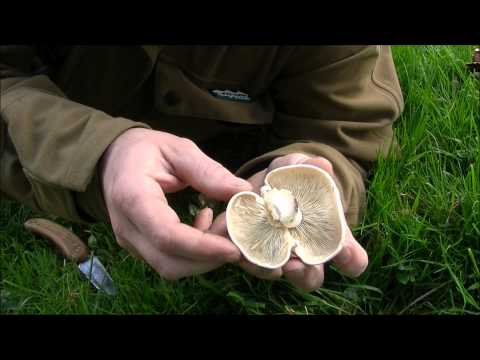 Bushcraft Edibles - Saint Georges Day Mushroom.