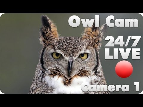 Great Horned Owl Live Cam #1