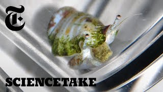 This Snail Has a Jump on Climate Change | ScienceTake - THENEWYORKTIMES