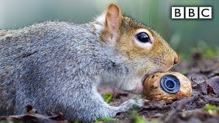 Squirrel steals a fake nut - Spy in the Wild: Episode 2 Preview - BBC One - BBC