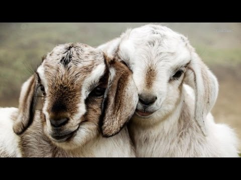 SEMI- Intensive System Of Profitable Goat Rearing Download mp3