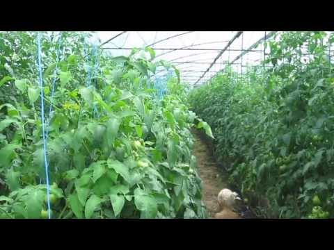 Отзывы о томатах Махитос F1 и Государь F1. На помидоркино.рф http://xn--d1ahbhhkbddbq.xn--p1ai/