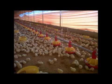Industriavicola en Segundos - Cadena Productiva del Pollo de Engorde